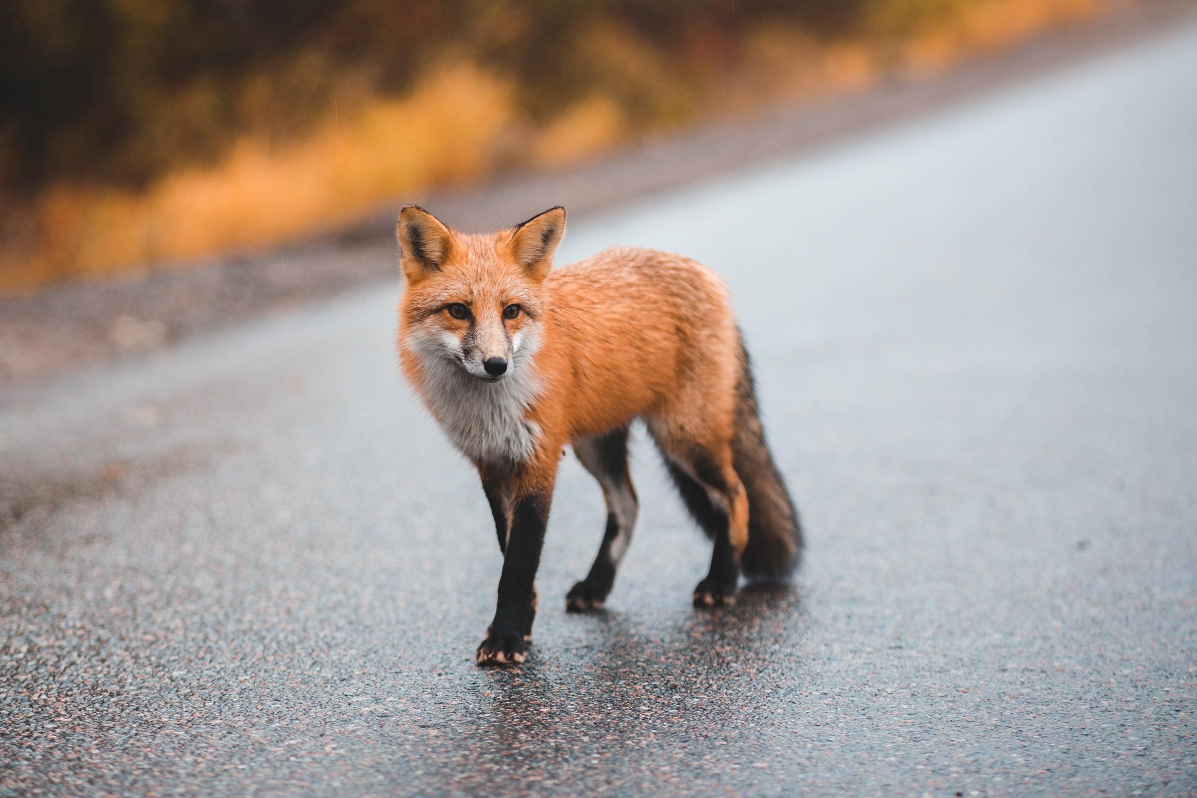 Proposition de résolution concernant le nourrissage du renard